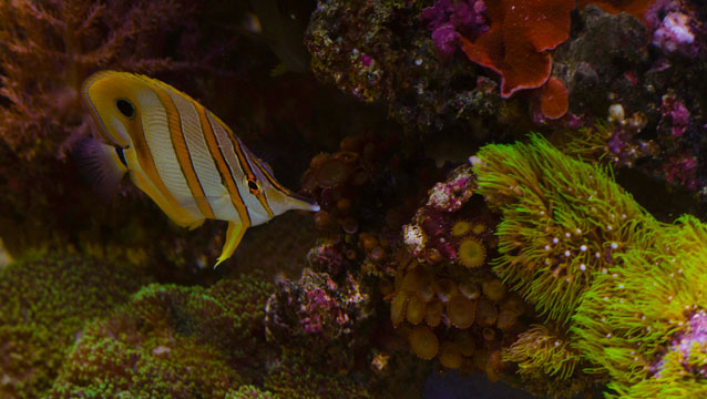Saltwater Fish - The Magnificent Foxface